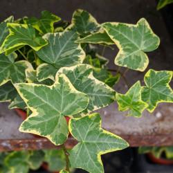 Variegated English Ivy (Hedera helix variegata)