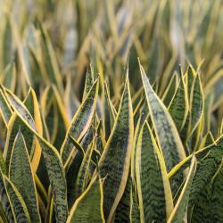 Gold Edge Snake Plant (Sansevieria trifasciata laurentii)