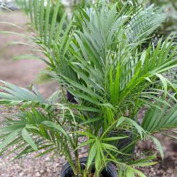 Cat Palm (Chamaedorea cataractarum)