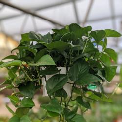 Pothos Vine, Devil's Ivy 'Jade Green' (Epipremnum aureum)