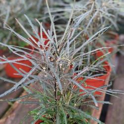 Threadleaf Aralia, False Aralia (Dizygotheca elegantissima)