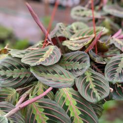 Prayer Plant(Maranta leuconeura)