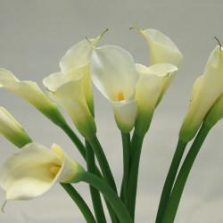 Calla Lily Plant (Zantedeschia aethiopica)