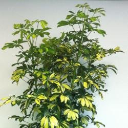 Schefflera(Schefflera actinophylla)
