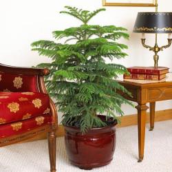 Norfolk Island Pine(Araucaria heterophylla)
