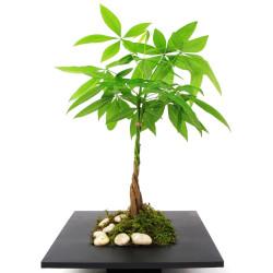 Money Tree Plant(Pachira aquatica)