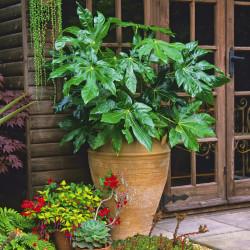 Fatsia Plant (Fatsia japonica)