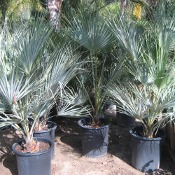 Mexican Blue Palm (Brahea armata)