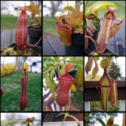 Pitcher Plant (Nepenthes hybrids)