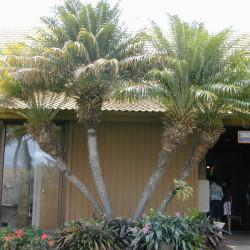 Pygmy Date Palm (Phoenix roebelinii)