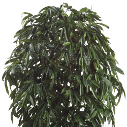 Ficus Amstel Tree In Pot 10'