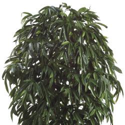 Ficus Amstel Tree In Pot 10'