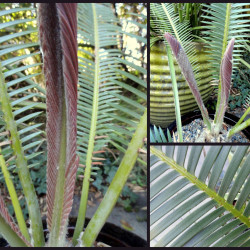 Dioon (Dioon edule)