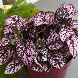 Polka Dot Plant(Hypoestes phyllostachya)