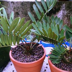 Cardboard Palm(Zamia furfuracea)