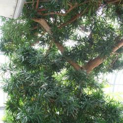 Podocarpus Plant (Podocarpus macrophyllus)