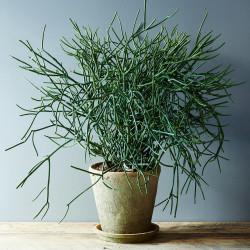 Euphorbia tirucalli (Red Pencil Tree, Pencil cactus)