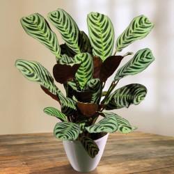 Ctenanthe Plant (Ctenanthe) Assorted Varieties