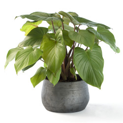 Homalomena Plant (Homalomena)