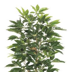 Schefflera Tree In Pot 6'
