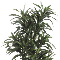 Dracaena Plant 8 Stem With 406 Lvs In Pot 6'