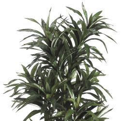 Dracaena Plant 8 Stem With 406 Lvs In Pot 6'