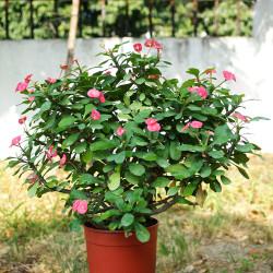 Euphorbia Millii (Jerry's Choice, Cherokee)