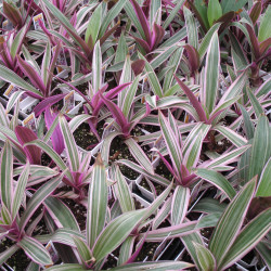 Moses in the Cradle (Tradescantia spathacea)