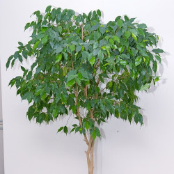 Weeping Fig, Ficus (Ficus Benjamina)