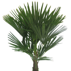 Windmill Palm (Trachycarpus fortunei)