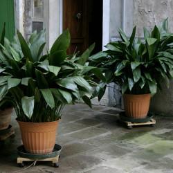 Cast Iron Plant(Aspidistra elatior)