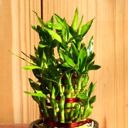 Lucky Bamboo(Dracaena sanderiana)