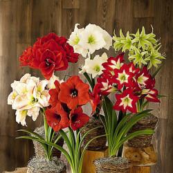 Amaryllis Plant (Barbosa Lily)