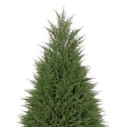 "Cypress Tree 77"""