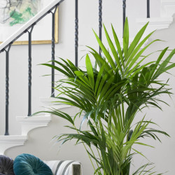 Kentia Palm(Howea forsteriana)