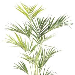 """Kentia Palm in Pot 93"""""""