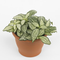 Fittonia Plant (Fittonia verschaffetii)