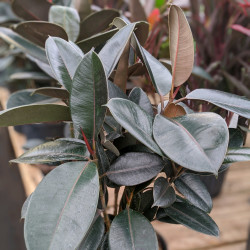 Rubber Plant, Rubber Fig - Burgundy (Ficus elastica)
