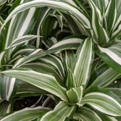 Dracaena 'Warneckii' (Dracaena fragrans)