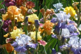 Kaleidoscope of Color 2018 Prescott's 19th Annual Festival of Iris