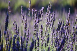 16th Annual Lavender Festival Week 1