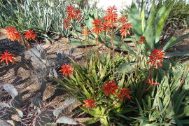 Central Arizona Cactus and Succulent Society Show & Sale