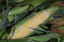 Sweet Corn Extravaganza at the Produce Farm
