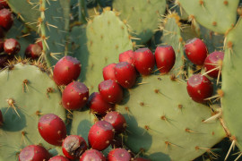 8th Annual Prickly Pear Festival