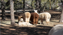 Mystic Pines Alpaca Ranch & Mystic Pines Fiber Processing Tours