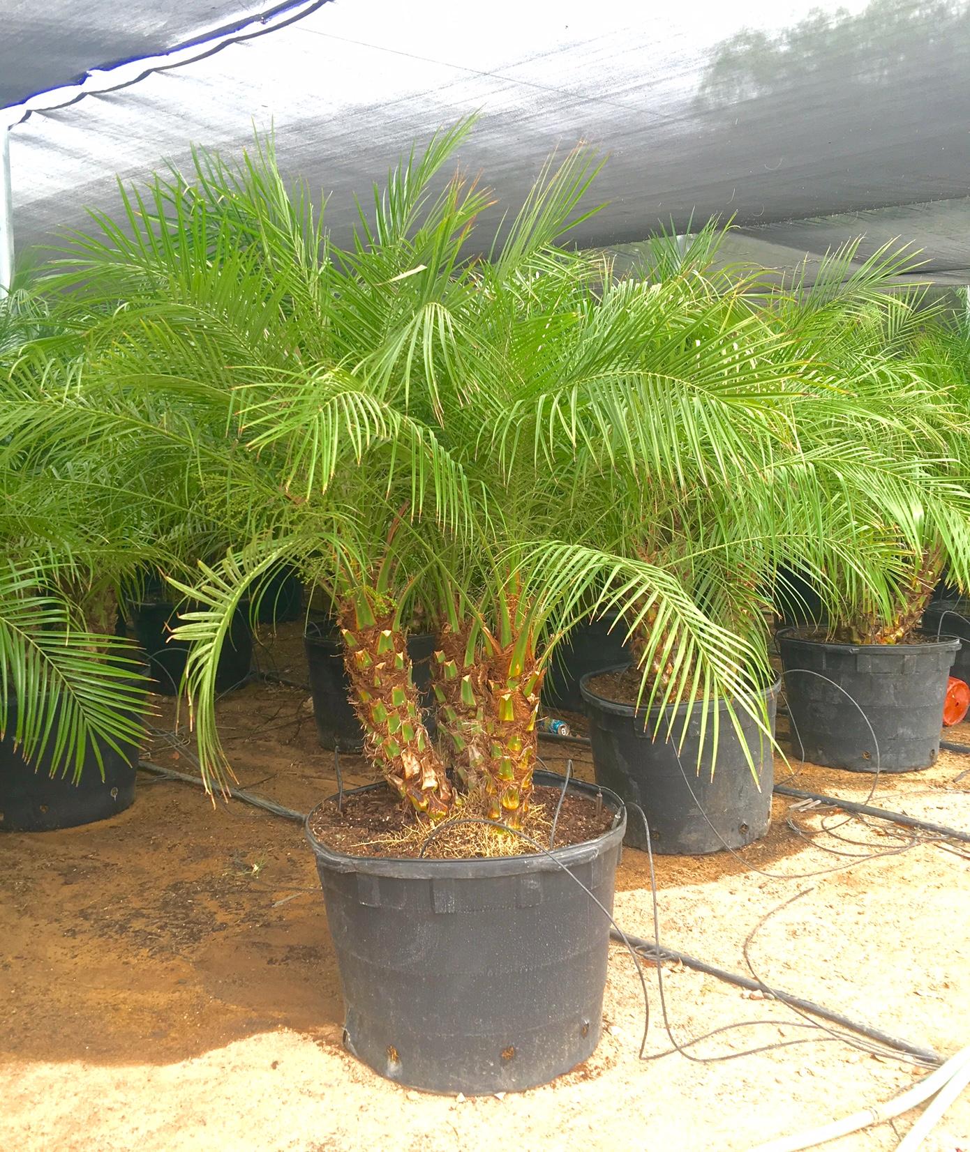 "21"" Pygmy Date Palm"