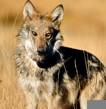 Saving Arizona Arizona Wildlife Stories Arizona Game And Fish