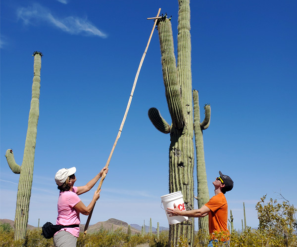 Two people stand looking up at a cactus in the daylight. One of them holds a stick up to the cactus to catch the fruit