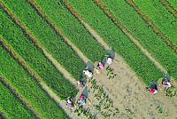 "China raises rice on ""saltland"" over..."