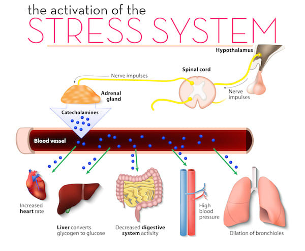 Description of the urinary system